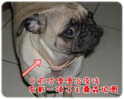 毛囊蟲治療_項圈.JPG
