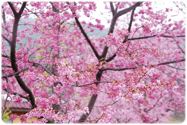2011-02-19_武陵賞櫻