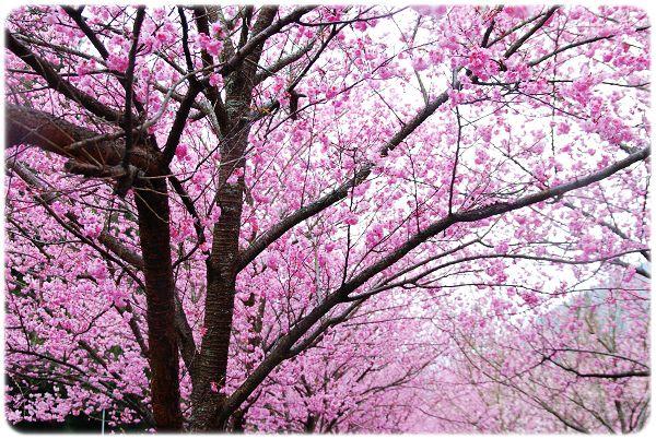 2011.02.19_武陵賞櫻_016