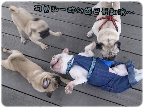 2010-12-11_八里巴哥狗聚_003.jpg