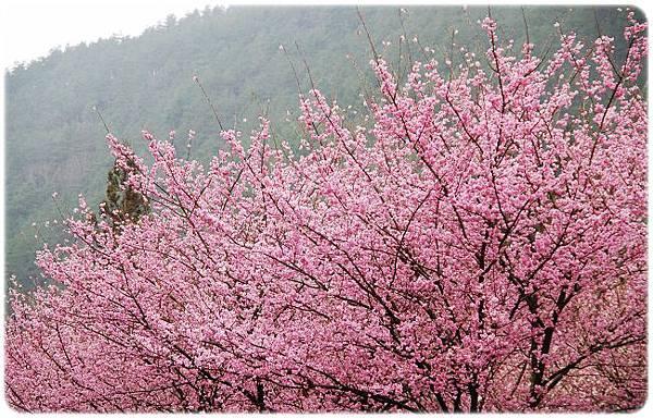2011.02.19_武陵賞櫻_009