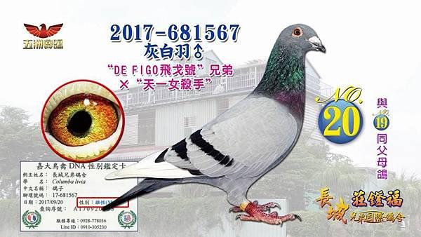 2017-681567灰白羽♂.jpg