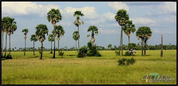美麗的棕櫚樹.jpg