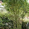 民宿-桂花樹