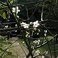 客至軒前梅花02