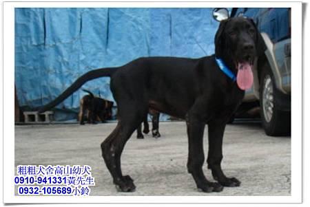 高山犬(幼犬)~粗粗犬舍~6.jpg