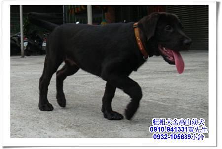 高山犬(幼犬)~粗粗犬舍~9.jpg