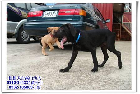 高山犬(幼犬)~粗粗犬舍~11.jpg