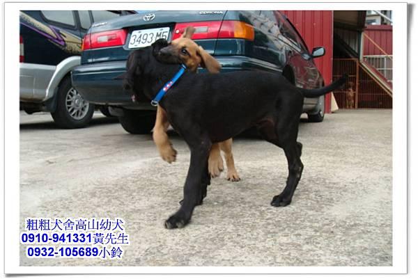 高山犬(幼犬)~粗粗犬舍~12.jpg