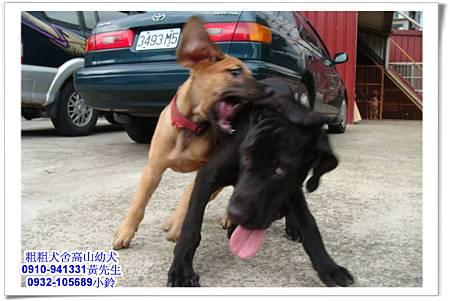 高山犬(幼犬)~粗粗犬舍~13.jpg
