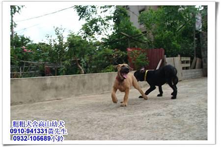 高山犬(幼犬)~粗粗犬舍~14.jpg