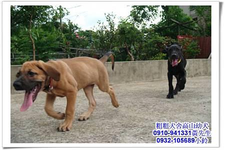 高山犬(幼犬)~粗粗犬舍~16.jpg
