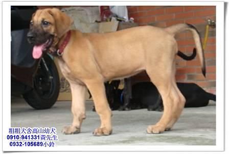高山犬(幼犬)~粗粗犬舍~23.jpg