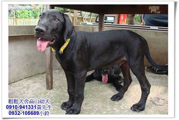 高山犬(幼犬)~粗粗犬舍~26.jpg