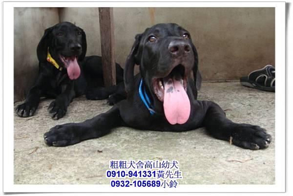 高山犬(幼犬)~粗粗犬舍~27.jpg