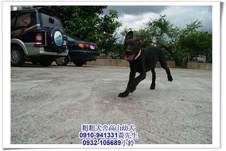 高山犬(幼犬)~粗粗犬舍~30.jpg