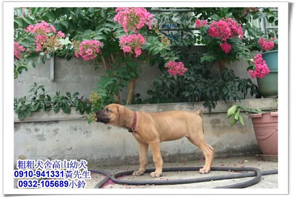 高山犬(幼犬)~粗粗犬舍~31.jpg