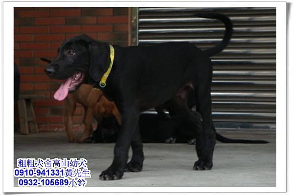 高山犬(幼犬)~粗粗犬舍~33.jpg