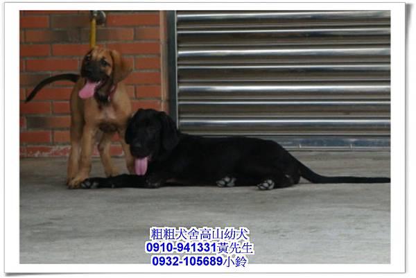 高山犬(幼犬)~粗粗犬舍~34.jpg