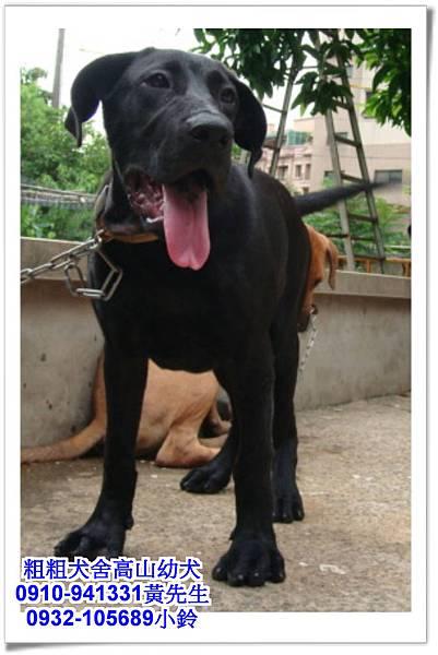 高山犬(幼犬)~粗粗犬舍~37.jpg