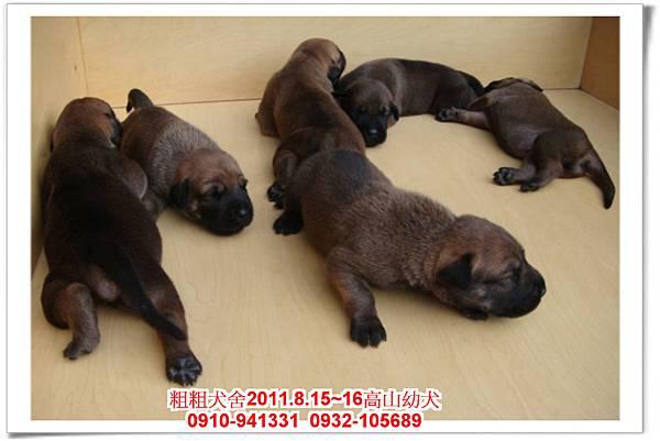 粗粗犬舍2011.8.15~16(高山犬)寶寶~1.jpg