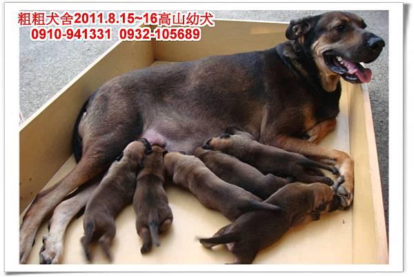 粗粗犬舍2011.8.15~16(高山犬)寶寶~4.jpg