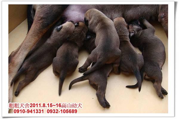 粗粗犬舍2011.8.15~16(高山犬)寶寶~6.jpg