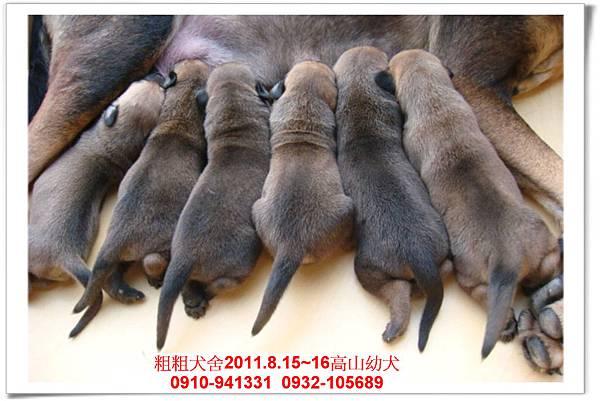 粗粗犬舍2011.8.15~16(高山犬)寶寶~7.jpg