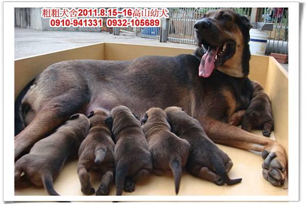 粗粗犬舍2011.8.15~16(高山犬)寶寶~8.jpg