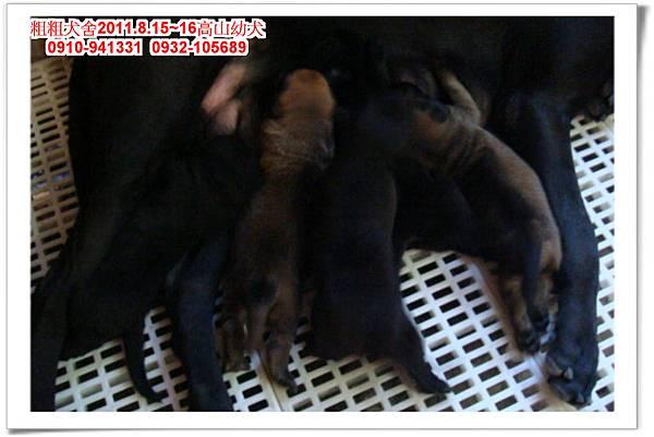 粗粗犬舍2011.8.15~16(高山犬)寶寶~12.jpg