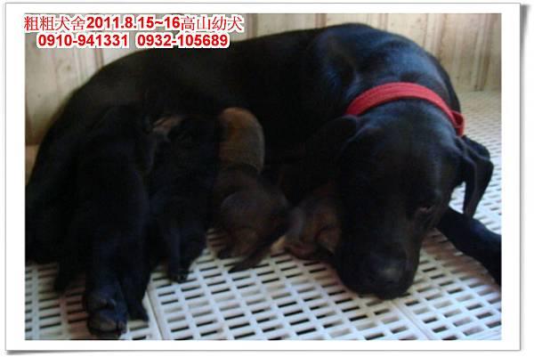 粗粗犬舍2011.8.15~16(高山犬)寶寶~13.jpg