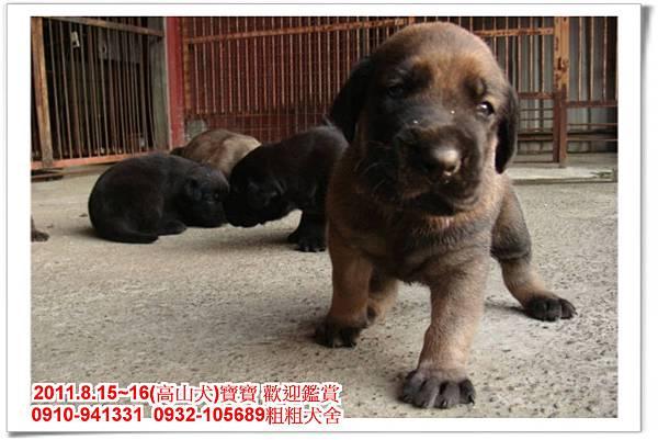 粗粗犬舍2011.8.15~16(高山犬)寶寶~22.jpg