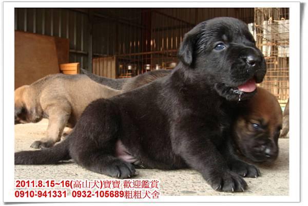 粗粗犬舍2011.8.15~16(高山犬)寶寶~23.jpg