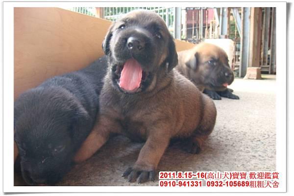 粗粗犬舍2011.8.15~16(高山犬)寶寶~34.jpg