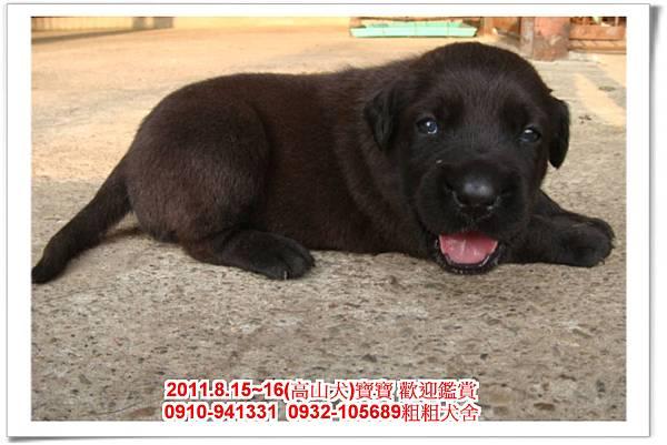 粗粗犬舍2011.8.15~16(高山犬)寶寶~37.jpg