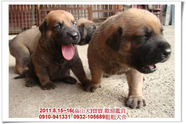 粗粗犬舍2011.8.15~16(高山犬)寶寶~38.jpg