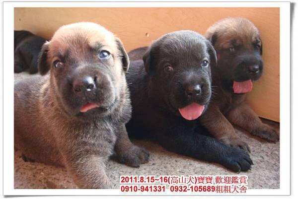 粗粗犬舍2011.8.15~16(高山犬)寶寶~40.jpg
