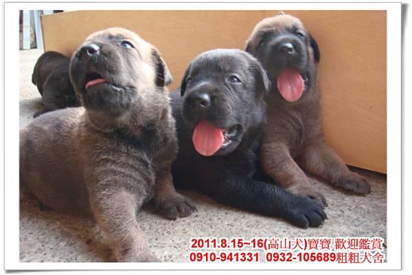 粗粗犬舍2011.8.15~16(高山犬)寶寶~41.jpg