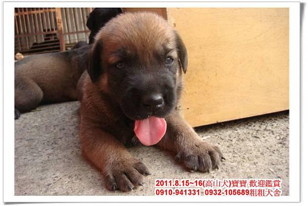 粗粗犬舍2011.8.15~16(高山犬)寶寶~45.jpg
