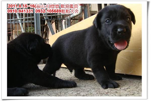 粗粗犬舍2011.8.15~16(高山犬)寶寶~47.jpg