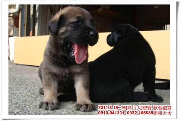 粗粗犬舍2011.8.15~16(高山犬)寶寶~49.jpg