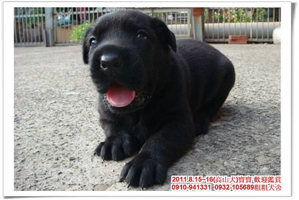 粗粗犬舍2011.8.15~16(高山犬)寶寶~50.jpg
