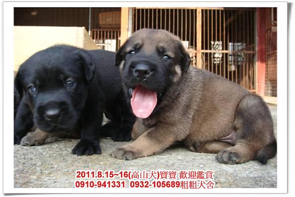 粗粗犬舍2011.8.15~16(高山犬)寶寶~51.jpg
