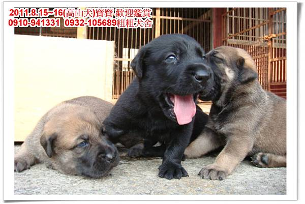 粗粗犬舍2011.8.15~16(高山犬)寶寶~52.jpg