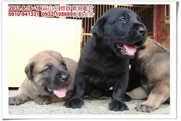 粗粗犬舍2011.8.15~16(高山犬)寶寶~53.jpg