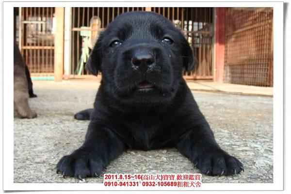 粗粗犬舍2011.8.15~16(高山犬)寶寶~54.jpg