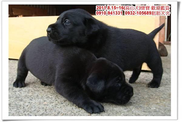 粗粗犬舍2011.8.15~16(高山犬)寶寶~55.jpg