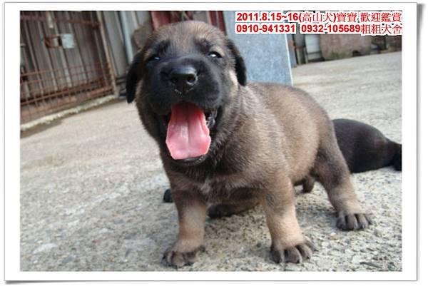 粗粗犬舍2011.8.15~16(高山犬)寶寶~61.jpg