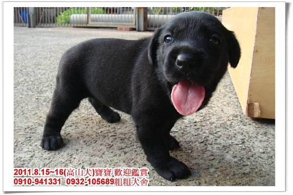 粗粗犬舍2011.8.15~16(高山犬)寶寶~63.jpg