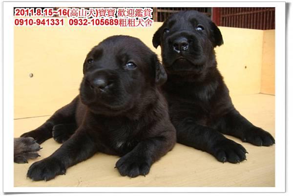 粗粗犬舍2011.8.15~16(高山犬)寶寶~66.jpg